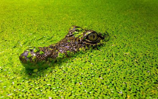 Обои Крокодил на фоне маленьких зеленых водорослей в болоте
