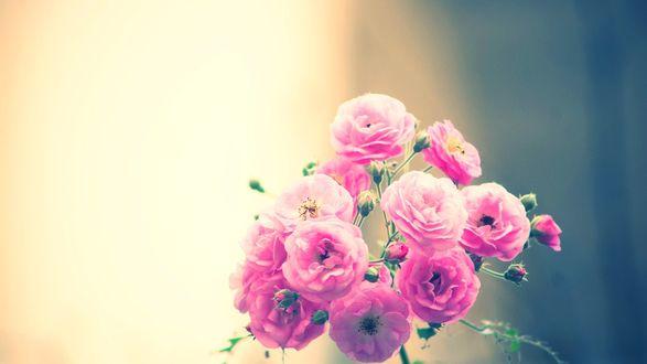 Обои Ветка розовых диких роз