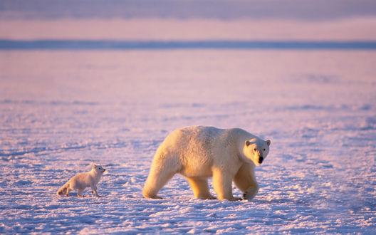 Обои Белый медведь и преследующий его белый песец
