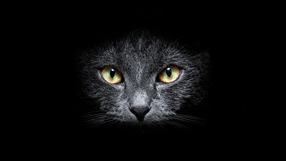 Обои Серая кошка в темноте