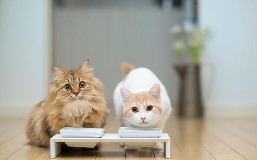 Обои Кошки Ханна / Hannah и Дейзи / Daisy около мисок с едой, фотограф Ben Torode