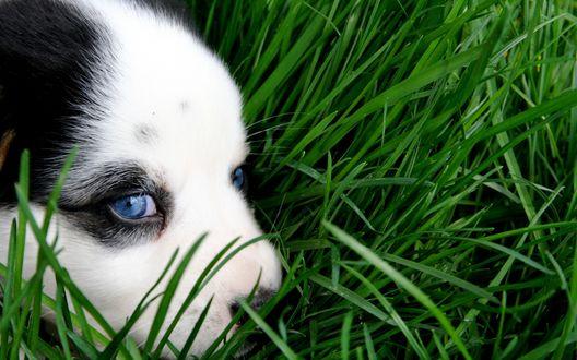 Обои Голубоглазый щенок в траве