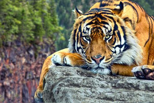Обои Тигр отдыхает на высокой скале, хищник прилег отдохнуть после удачной охоты, или размышляет о предстоящем поиске пищи