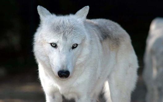 Обои Белый волк, волк - альбинос, редкое явление