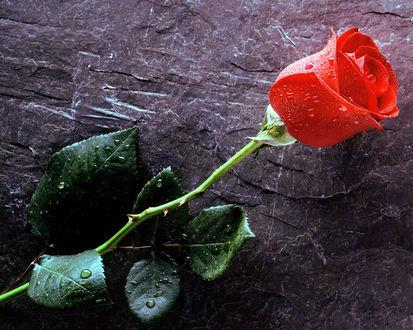 Обои Цветок для любимой, красная роза