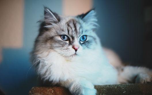 Обои Голубоглазая пушистая кошка