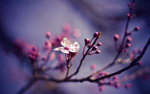 Обои Цветок вишни