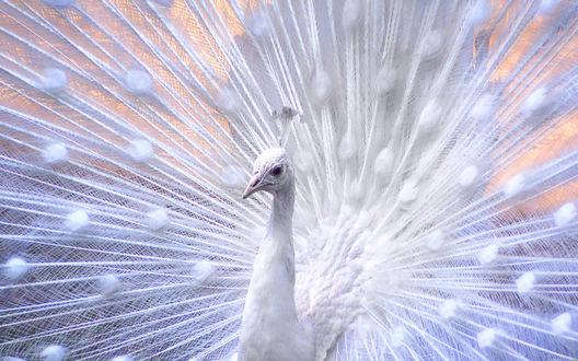 Обои Белый павлин крупным планом