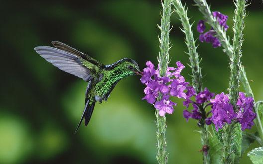 Обои Вилохвостый  изумрудный колибри собирающий нектар на цветах