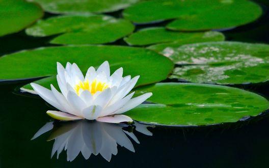 Обои Цветок лотоса