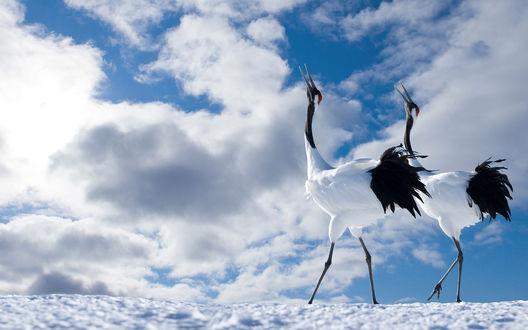 Обои Два японских журавля на фоне голубого неба