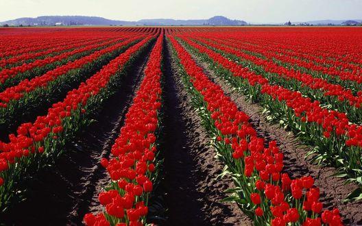 Обои Огромное поле красных тюльпанов на фоне горного массива, поросшего лесом