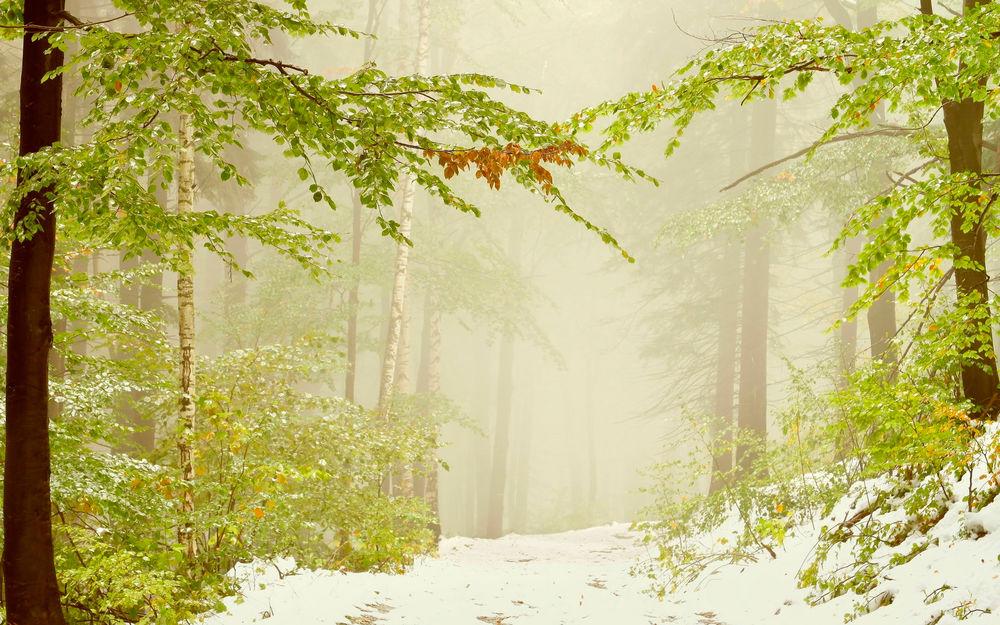Обои для рабочего стола Зимний лес с белоствольными березами, выпавшим первым снегом и густым туманом