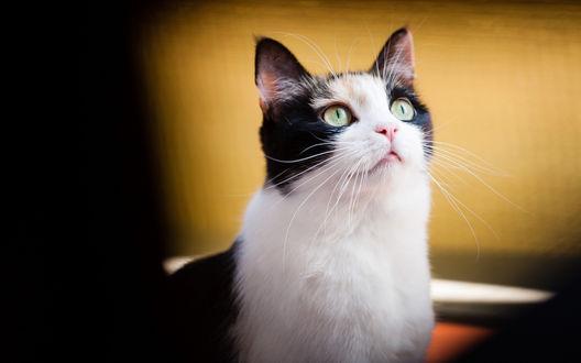 Обои Кот внимательно смотрит вверх