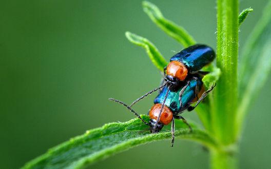Обои Два  жука-светлячка сидят на зеленом стебле