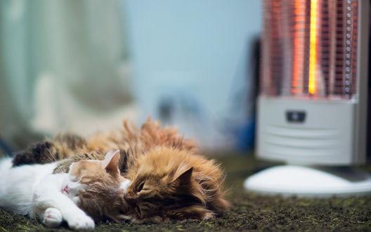 Обои Кошки Дейзи / Daisy и Ханна / Hannah спят обнявшись у обогревателя, фотограф Бэн Тороде / Ben Torode