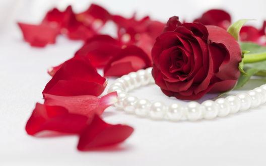 Обои Бутон красной розы и нить жемчуга