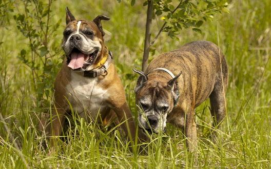 Обои Две собаки породы боксер в зеленой траве
