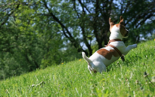 Обои Маленький пес породы Jack Russell terrier / Джек Рассел терьер бегает по траве