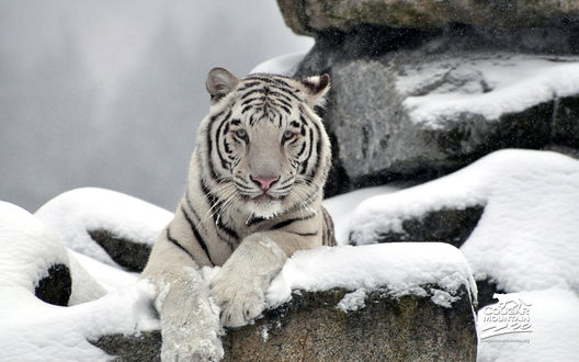 Обои Горный зоопарк 'Кунгуар' / Couguar Mauntain Zoo, белый бенгальский тигр Витец