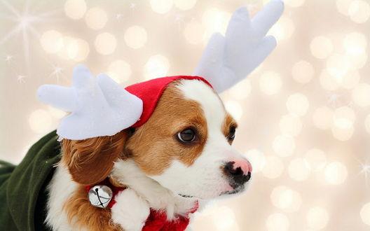 Обои Собака породы кавалер кинг чарльз спаниель в новогодней шапке с оленьими рогами