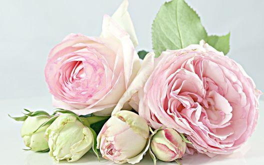 Обои Бутоны розовых диких роз