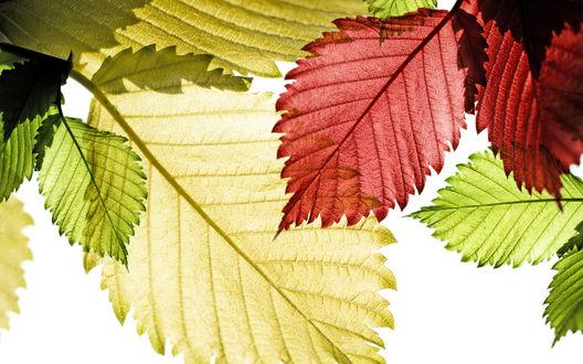 Обои Красивые цветные прозрачные листья