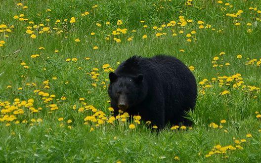 Обои Черный медведь на лугу с желтыми одуванчиками