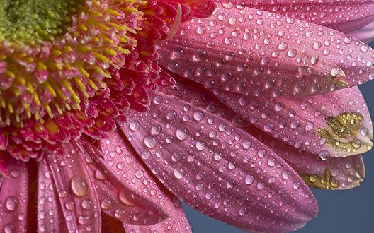 Обои Лепестки розовой герберы в каплях воды