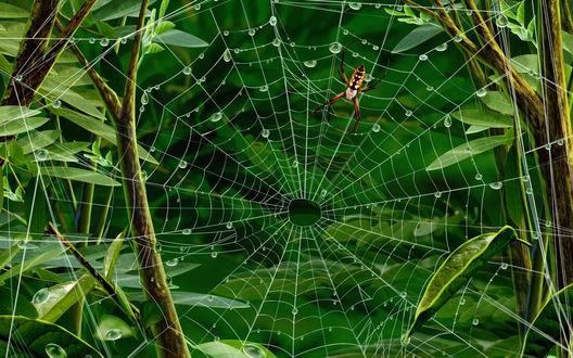 Обои Паук сидит на паутине покрытой каплями росы