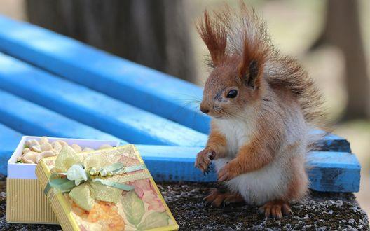 Обои Новогодний подарок для белки - орешки в красивой подарочной коробке