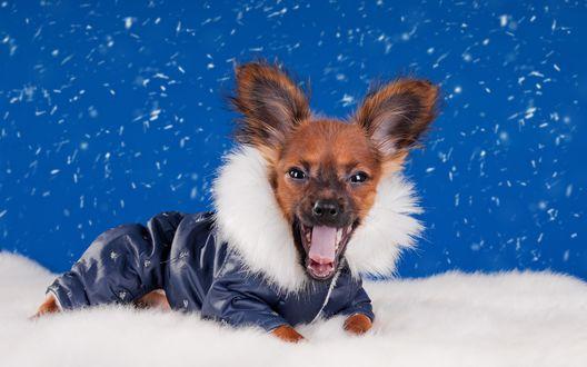 Обои Модная собачка в зимней курточке