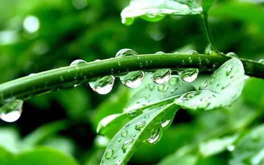 Обои Капельки воды на стебле и зеленых листьях