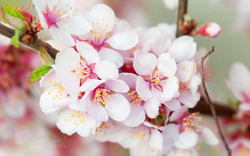 показать фотообои три д цветущей вишни ветки предлагаю