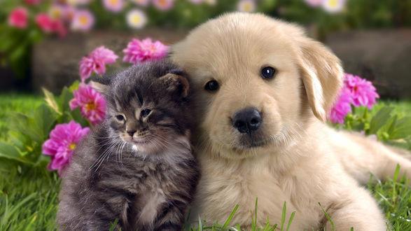 Обои Серый котенок и белый щенок лабрадора, тесно прижавшись, сидят на зеленой лужайке в окружении цветов