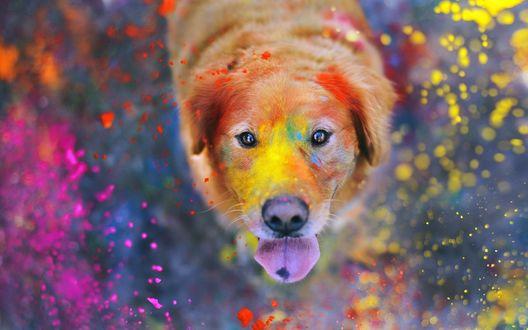 Обои Собака породы золотистый ретривер в брызках разноцветной краски
