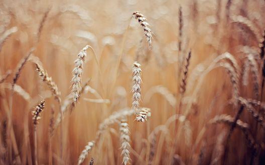 Обои Колоски пшеницы