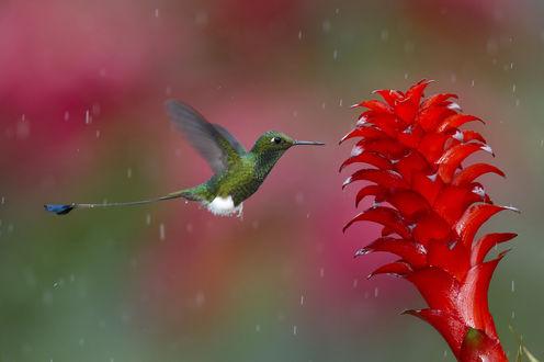 Обои Колибри у тропического красного цветка во время дождя