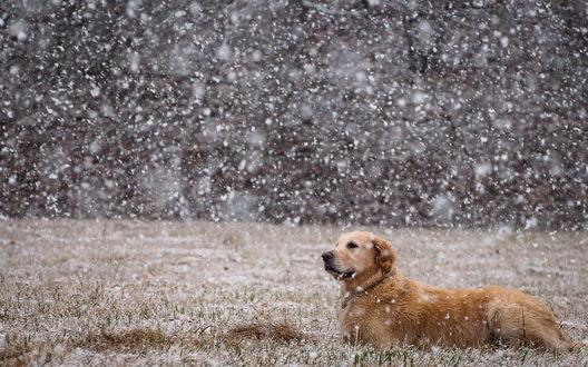 Обои Золотистый ретривер в поле во время снегопада
