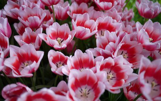 Обои Яркие весенние цветы - раскрывшиеся розовые тюльпаны