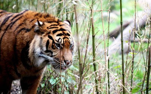 Обои Тигр в лесу на фоне бамбуковых стеблей