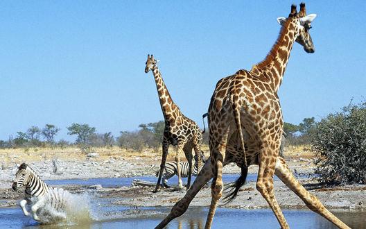 Обои Два жирафа и зебра