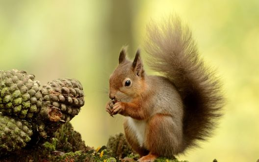 Обои Маленькая белка грызет орешки