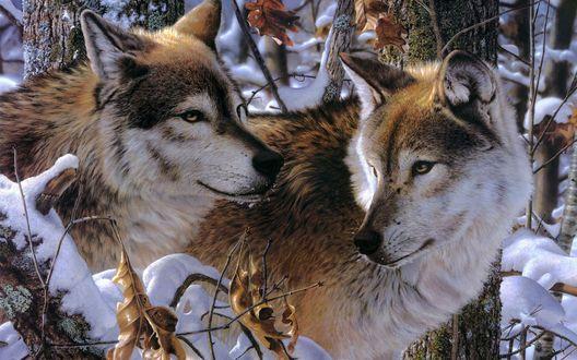 Обои Два рыже-серых волка в снежном лесу, художник Jay Kemp / Джей Кемп