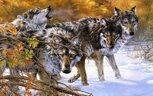 Обои Дикие взъерошенные волки на снегу, работа Lee Kromschroeder / Ли Кромшрёдер