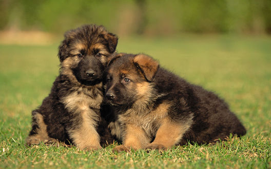 Обои Два милых щенка овчарки сидят на траве