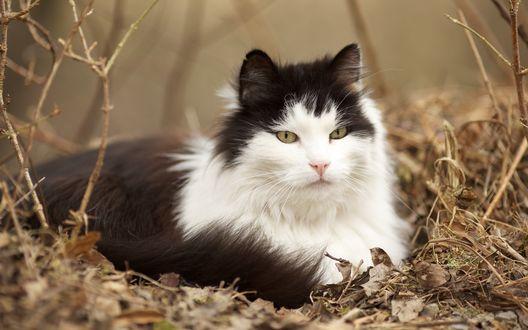 Обои Черно-белый кот сидит в пожухлой осенней листве
