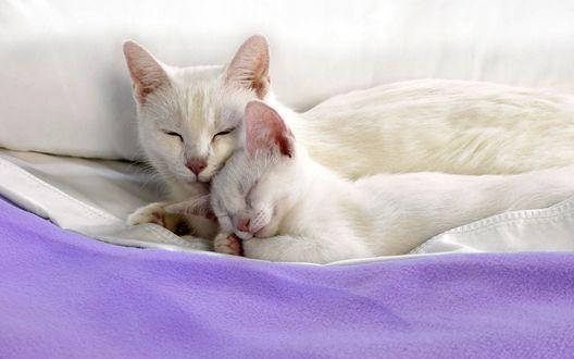 Обои Белая кошка с котенком спят на фиолетовом покрывале