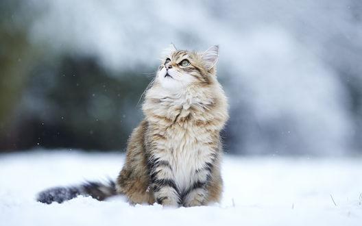 Обои Пушистый кот сидит в снегу