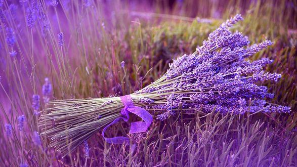 Обои Букет лаванды, перевязанный фиолетовой ленточкой, лежащий на цветочном поле